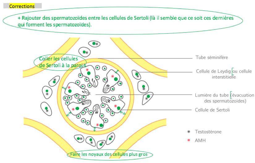 Les cellules testiculaires productrices d'hormones