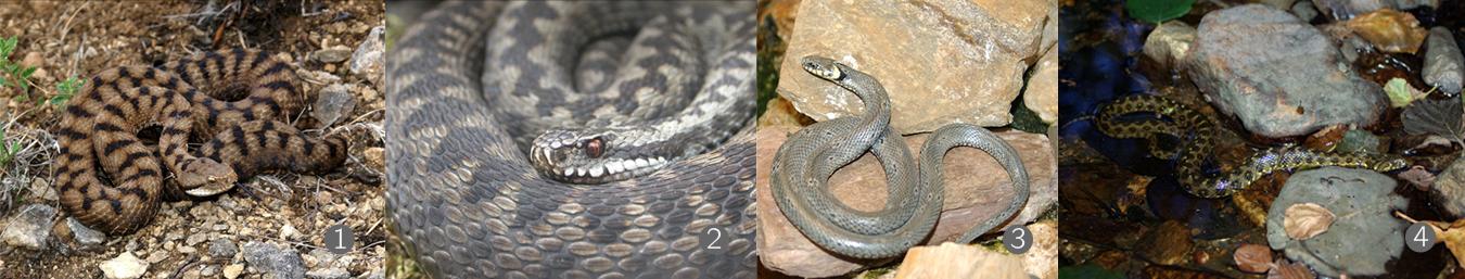 Quatre serpents : vipère aspic, vipère péliade, couleuvre à colier et couleuvre vipérine.