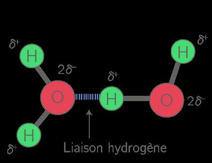 Liaison hydrogène entre deux molécules d'eau