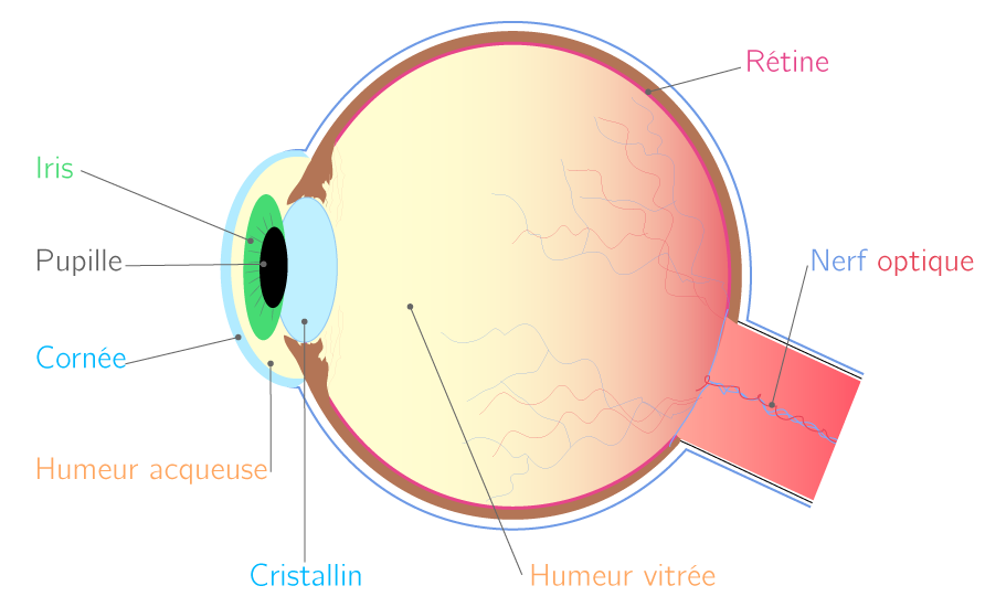 L œil humain - 4e - Cours Physique-Chimie - Kartable 89974ed5c438