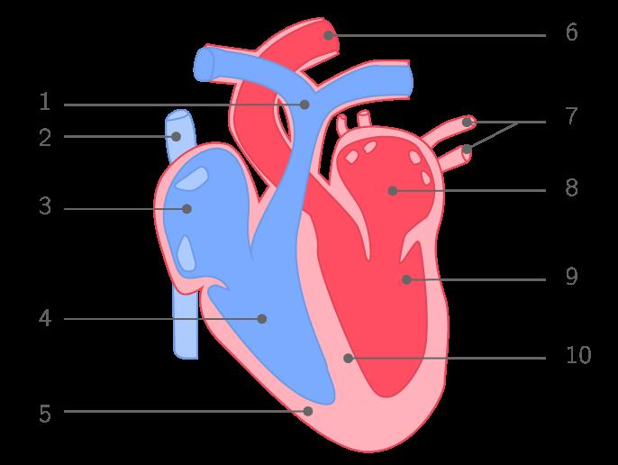 Schéma d'un cœur de mammifère en coupe