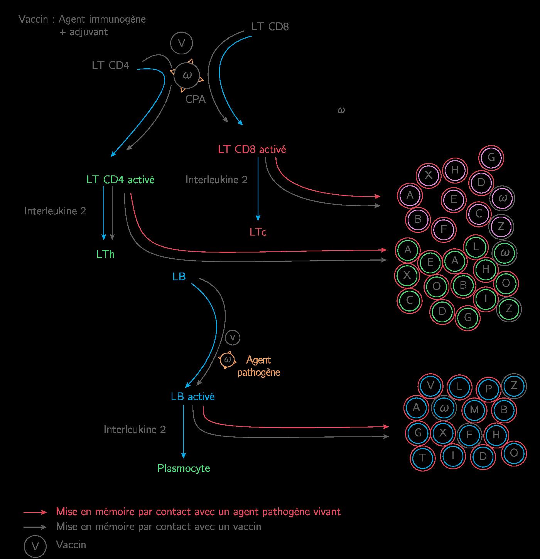 Mécanismes de création du phénotype immunitaire d'un individu