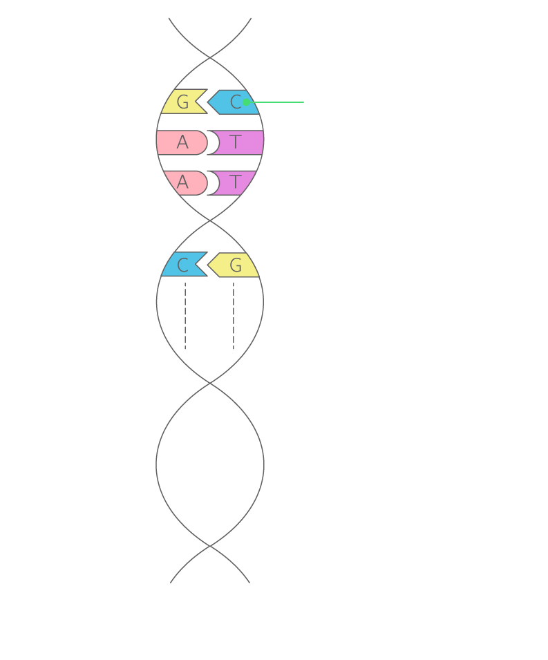 Realiser Un Schema De La Molecule D Adn 2nde Exercice De Connaissances Svt Kartable