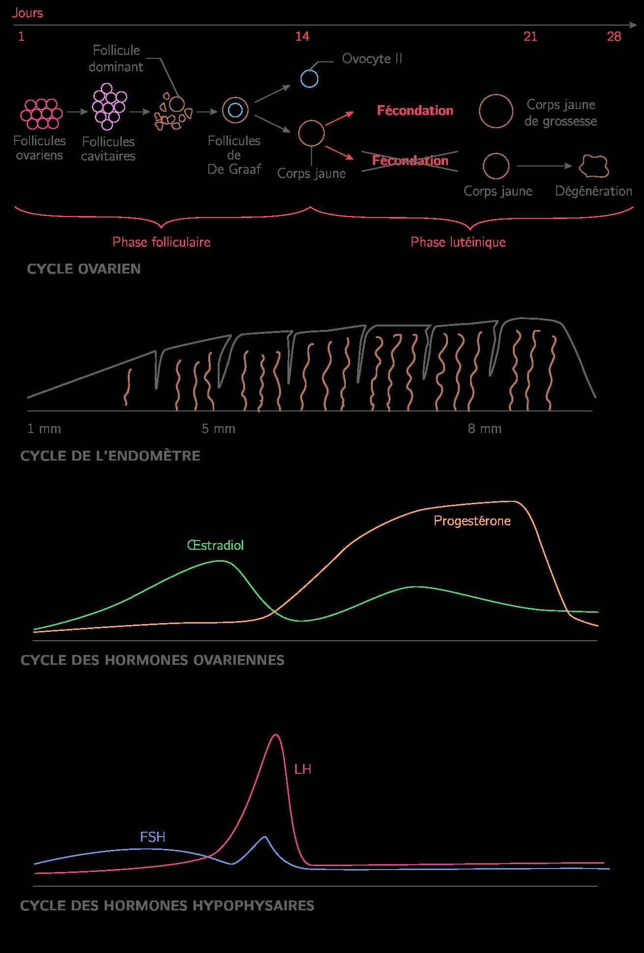 Les cycles menstruels chez la femme