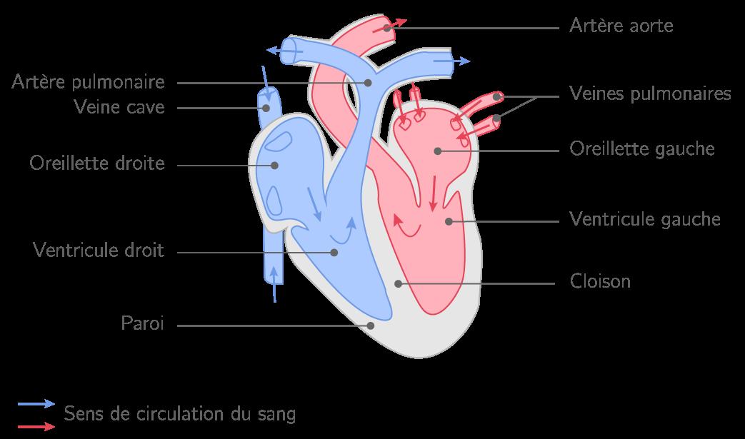 Schéma fonctionnel d'un cœur de mammifère