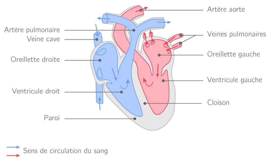 schema circulation sanguine coeur