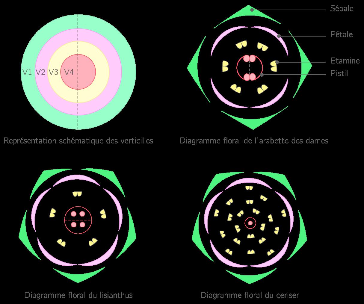 Des diagrammes floraux