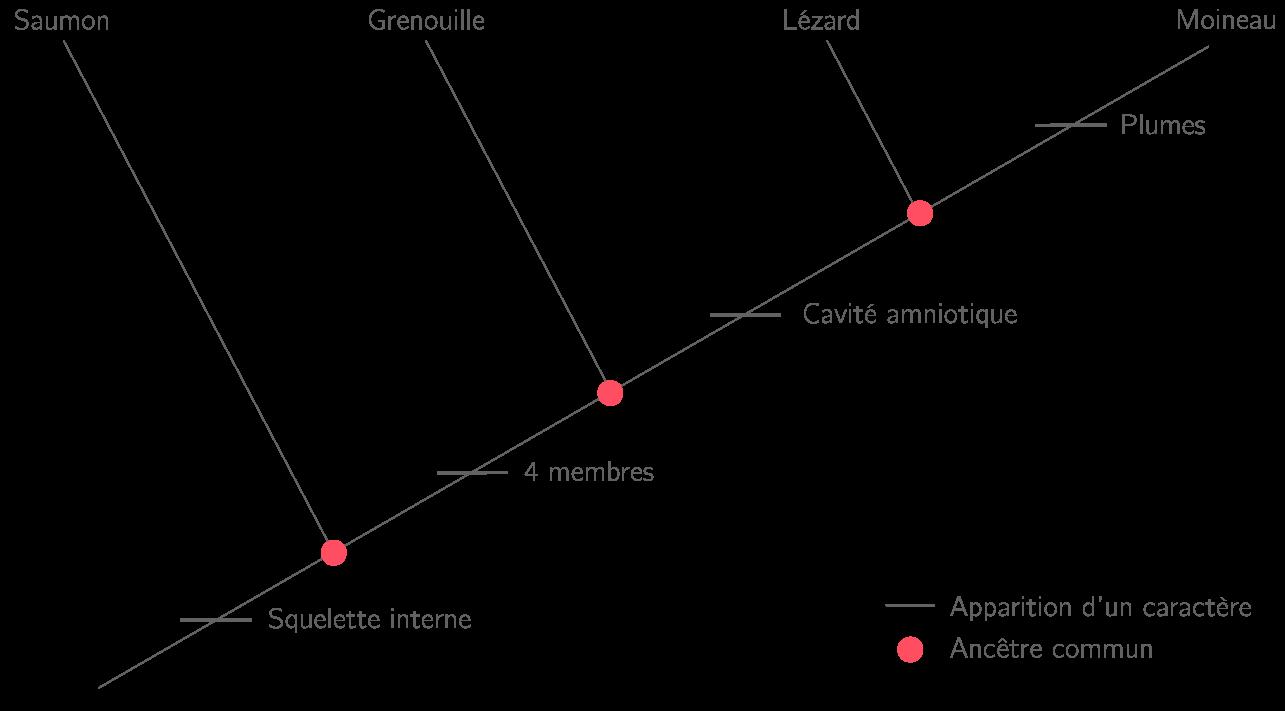 Exemple d'un arbre phylogénétique traduisant la parenté entre les vertébrés