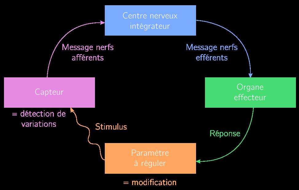 Modèle général des éléments d'une boucle de régulation
