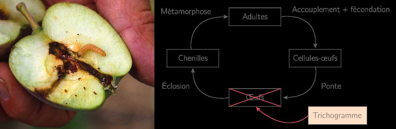 Le cycle de vie du carpocapse et lutte biologique