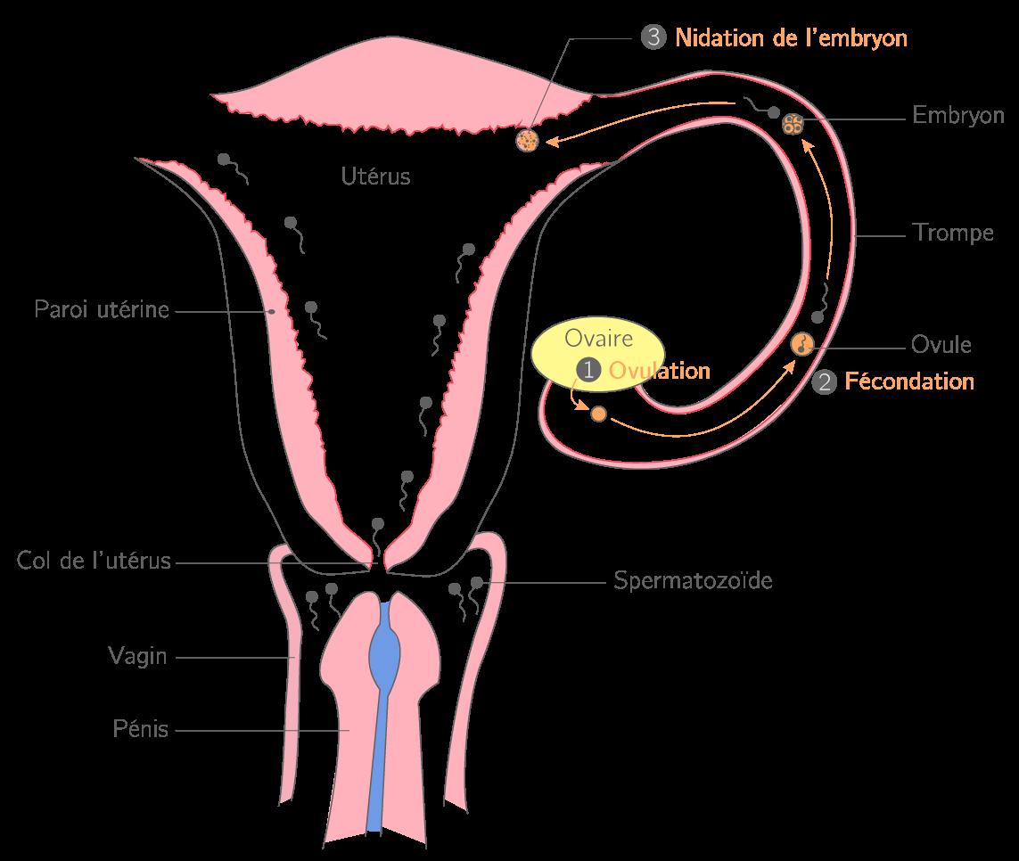 rencontre spermatozoide ovule combien temps Saint-Étienne
