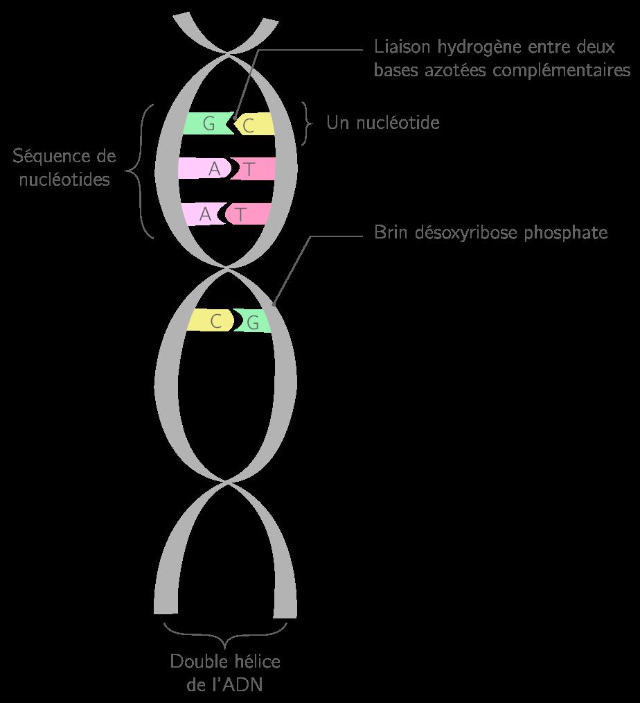 L'ADN molécule informative 2nde SVT