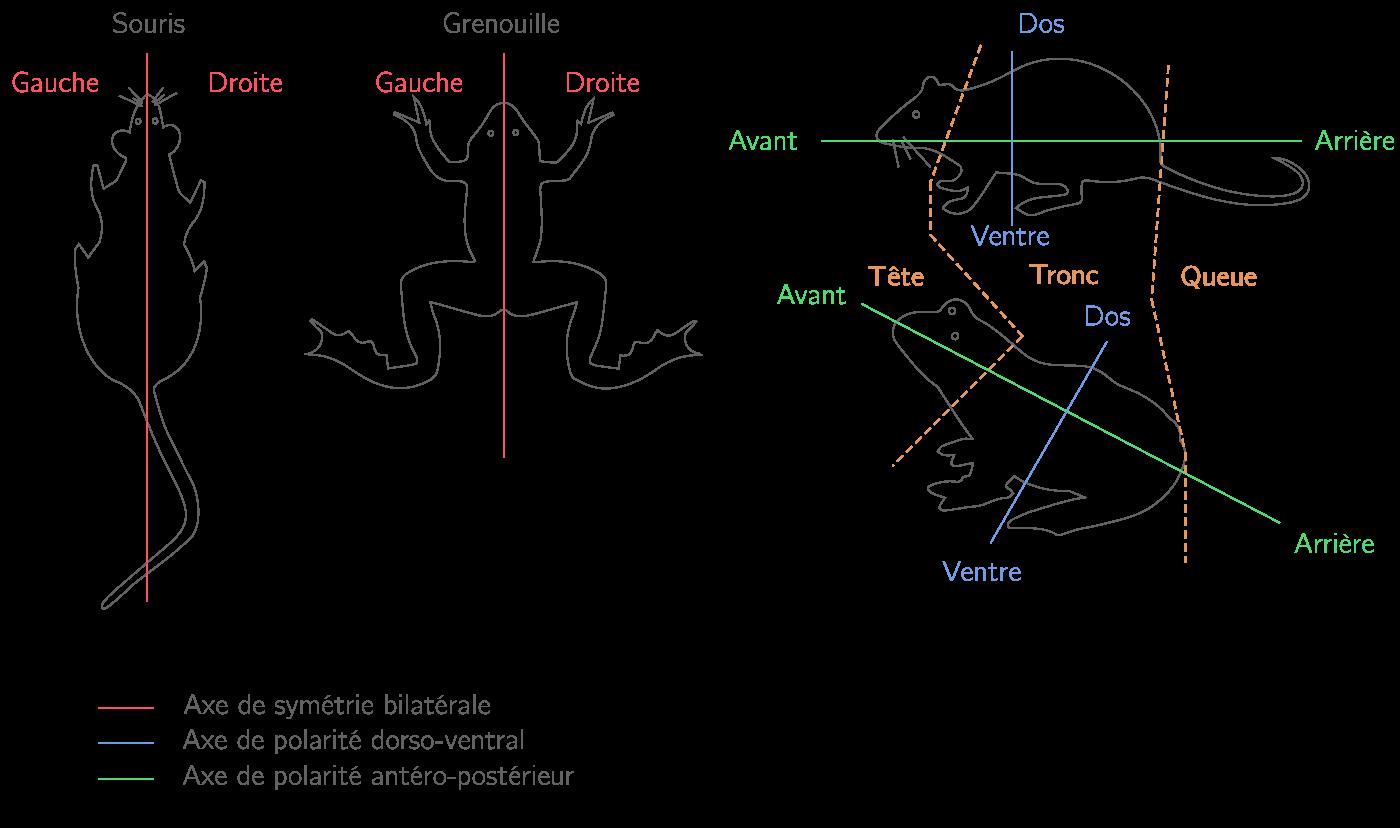 Représentation du plan d'organisation externe d'une souris et d'une grenouille