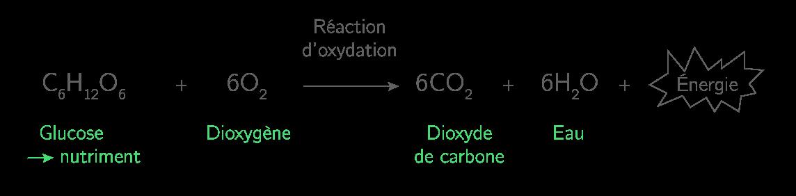 Équation de la réaction se produisant dans les cellules lors de la respiration cellulaire