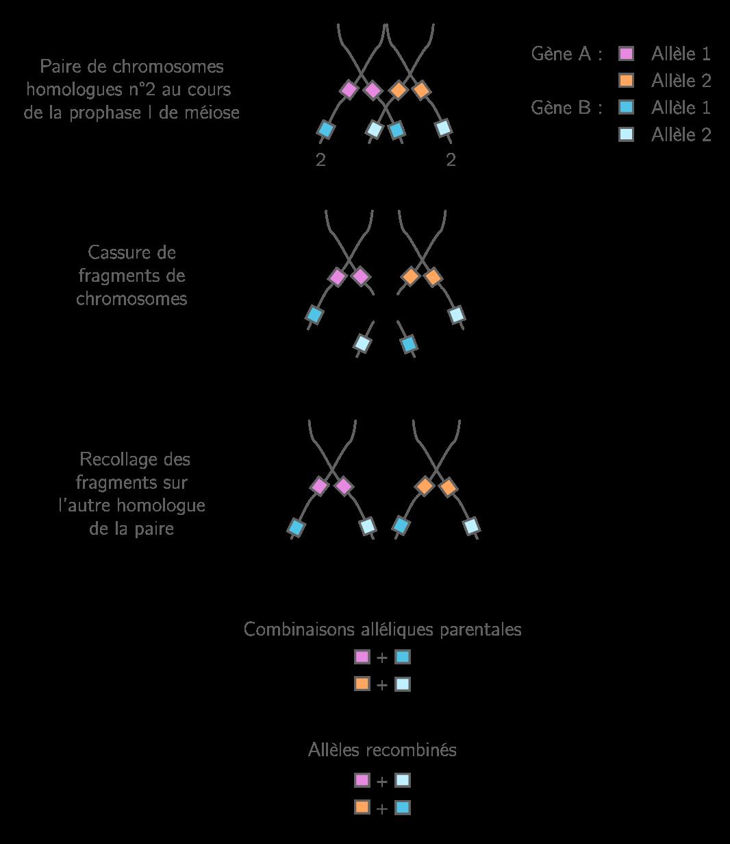Le brassage intrachromosomique par le crossing-over ou enjambement