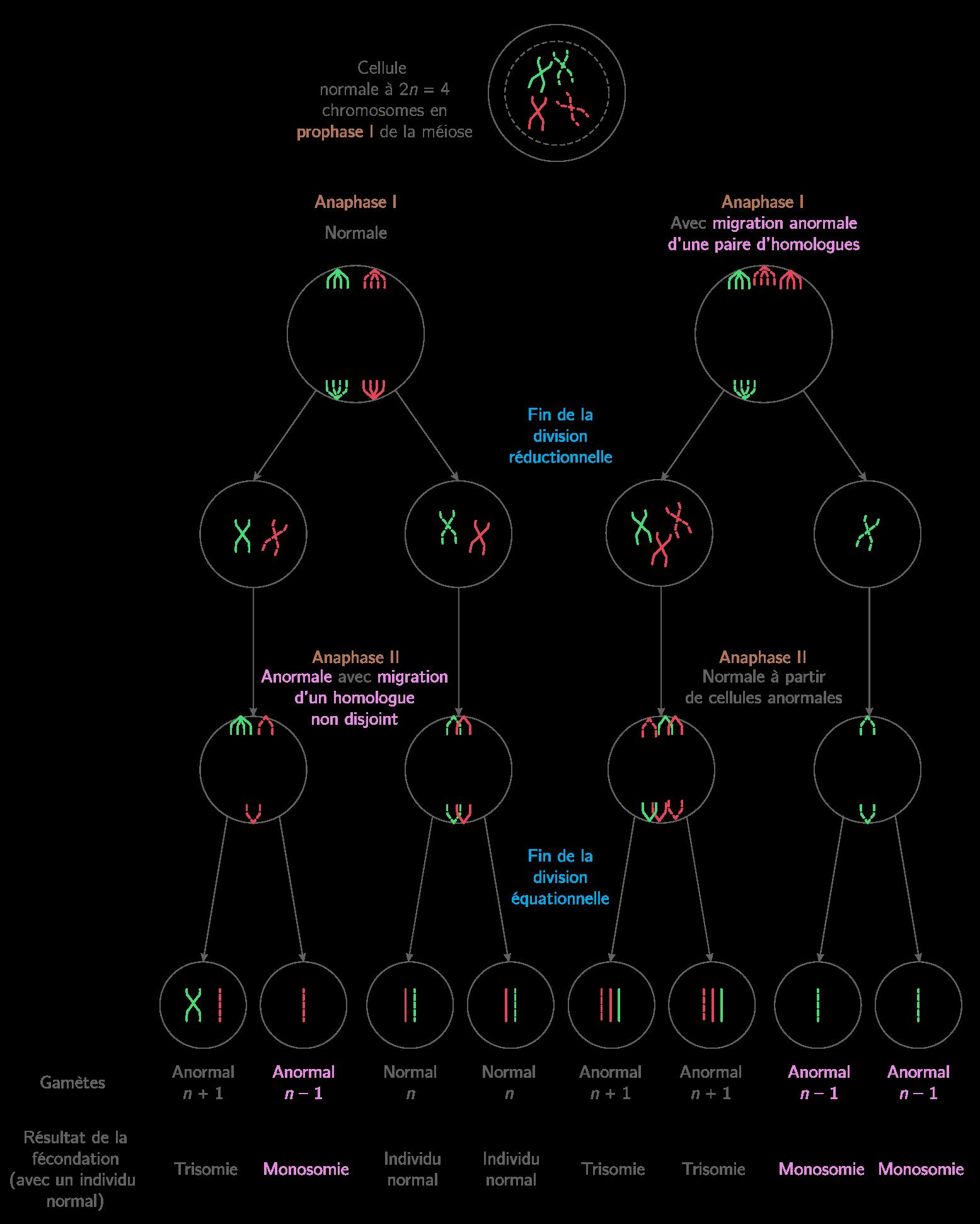 Mécanismes d'apparition des trisomies et des monosomies au cours de la méiose