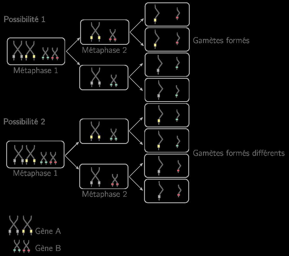 Mise en évidence des différentes possibilités de formation des gamètes lors du brassage interchromosomique