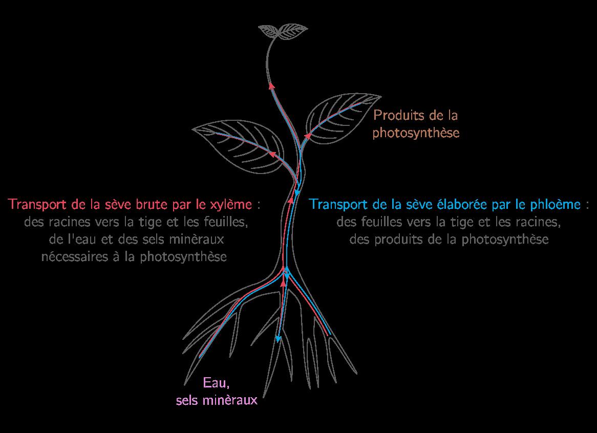 Trajet des deux types de sève dans la plante