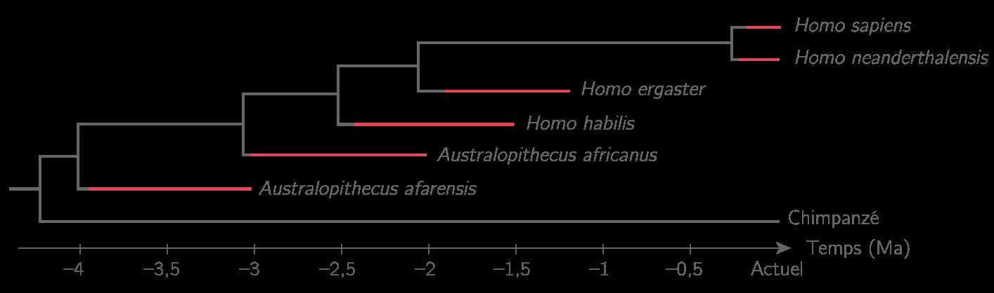 Un arbre phylogénétique des Homininés