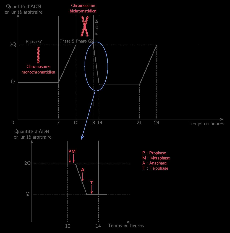 Quantité d'ADN dans une cellule au cours du cycle cellulaire