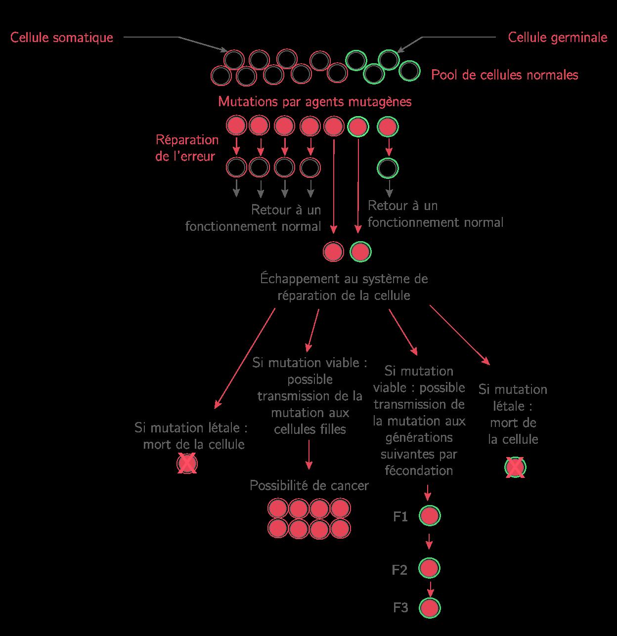 Les mutations et leurs possibles conséquences