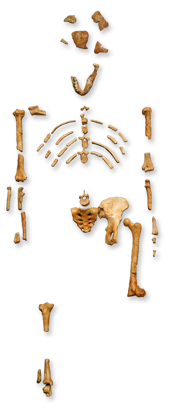 Squelette fossilisé de Lucy