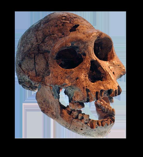 Crâne D−2282 retrouvé sur le site archéologique de Dmanisi en Géorgie