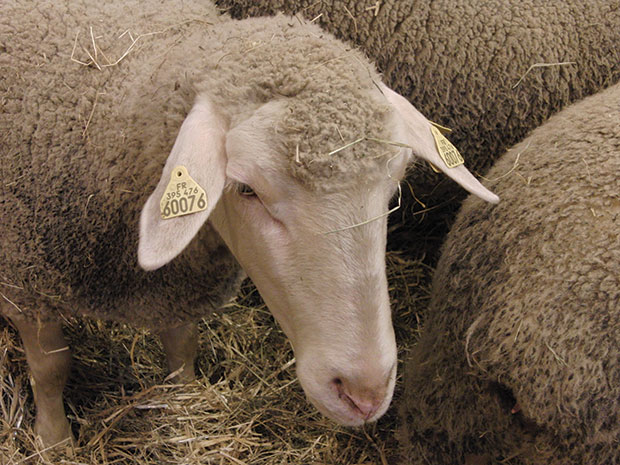 Un mouton