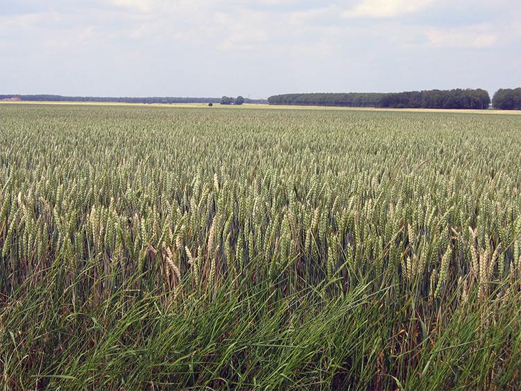 Champs de blé dans la Beauce