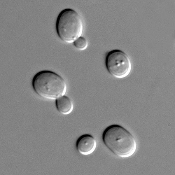 Photographie en microscopie optique de levures (champignons) (longueur : 0,01 mm)