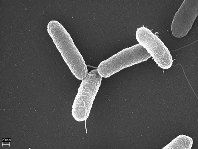 Photographie prise en microscopie électronique de 4 bactéries de Salmonelle (longueur : 0,001 mm)