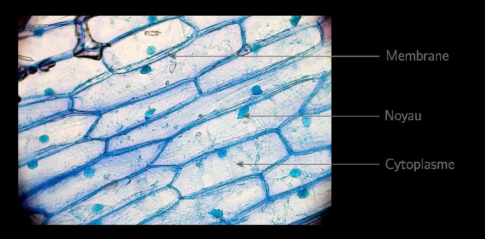 Photographie de cellules d'oignons (longueur : 0,05 mm)