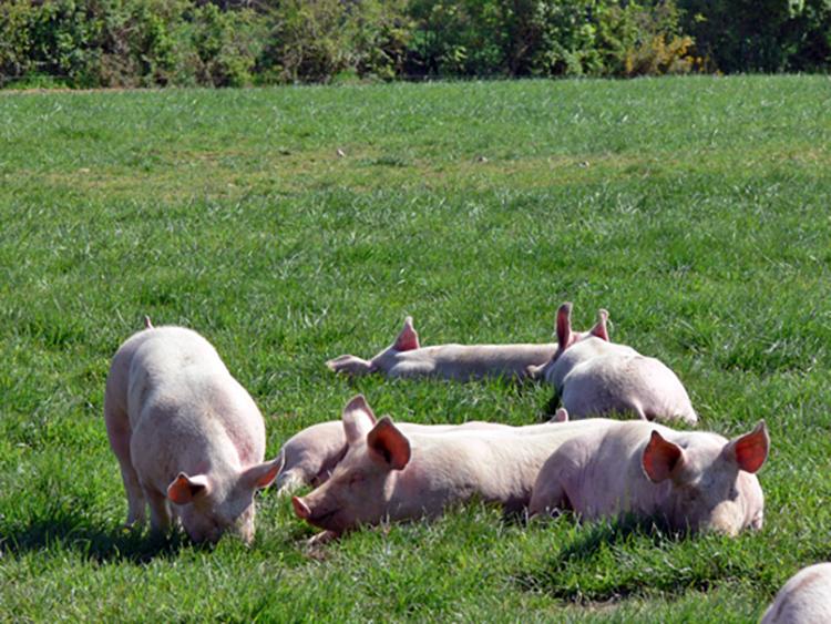 Un élevage porcin biologique