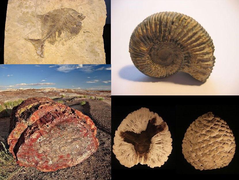 Exemples de fossiles : un poisson, une ammonite, un tronc et un cône