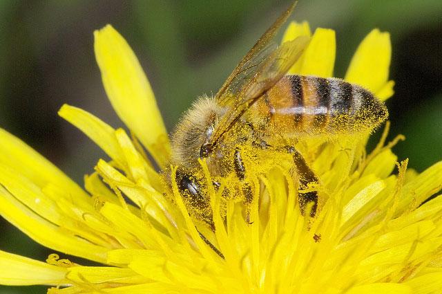 Abeille avec du pollen sur le corps