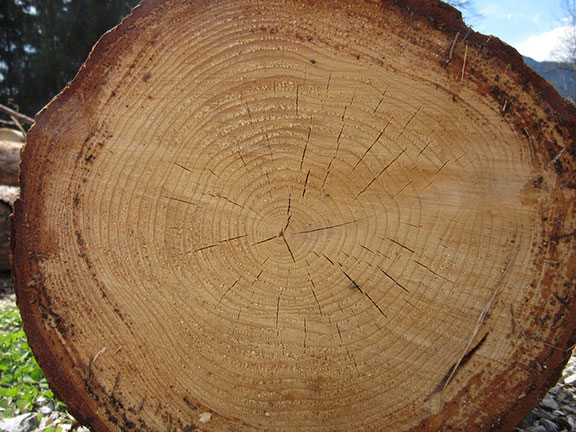 Les cernes d'un arbre