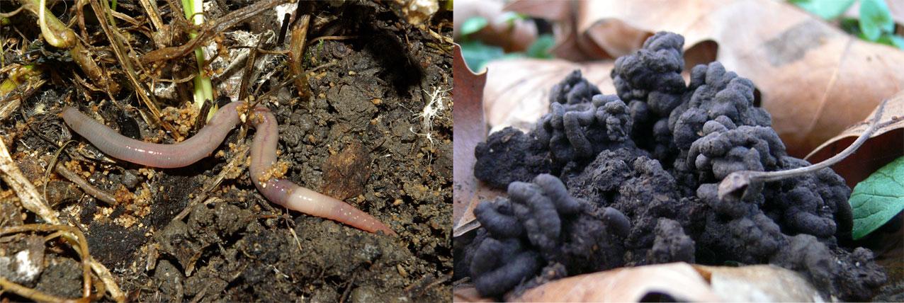 Un ver de terre et des turricules