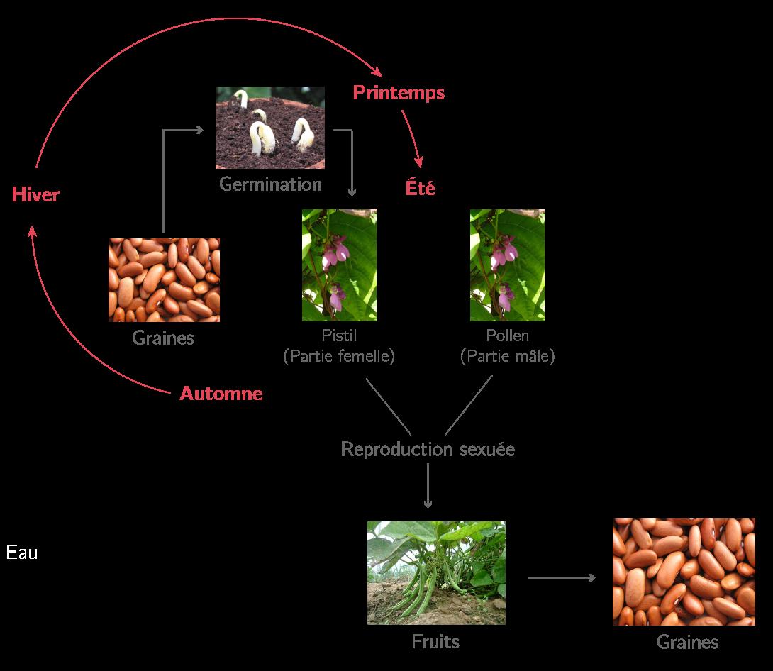 Différentes étapes du cycle de vie du haricot
