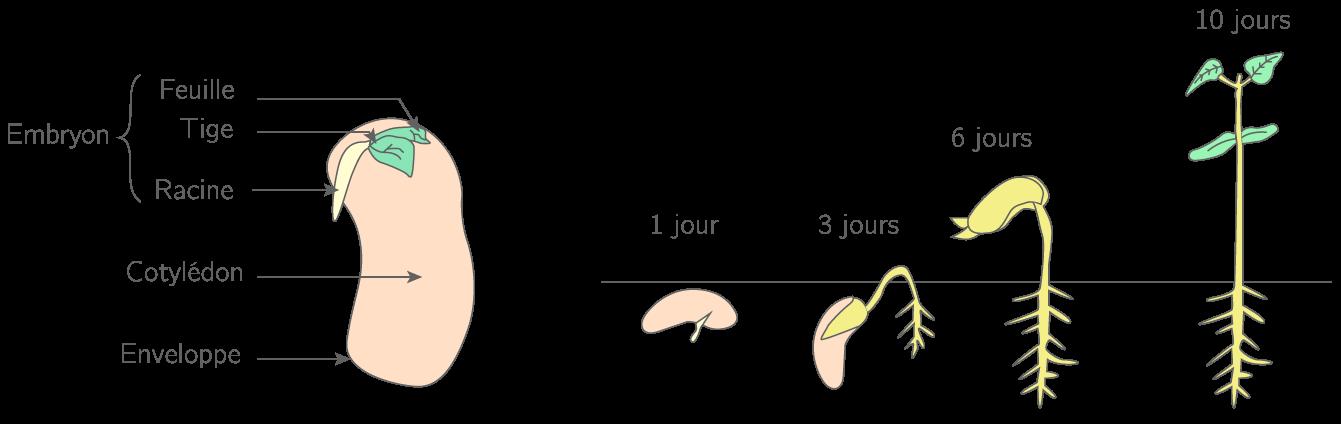 Le Developpement Et La Reproduction Des Etres Vivants 6e Cours