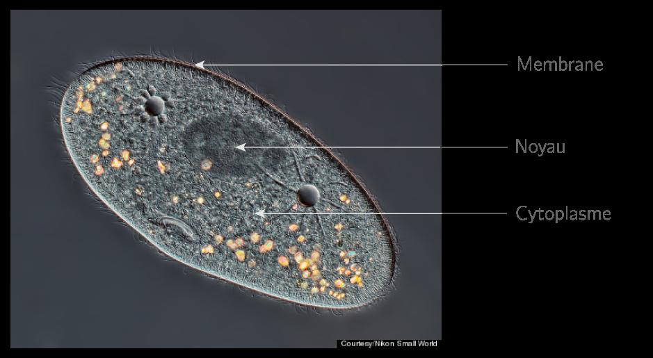 Photographie d'une paramécie (longueur : 0,1 mm)