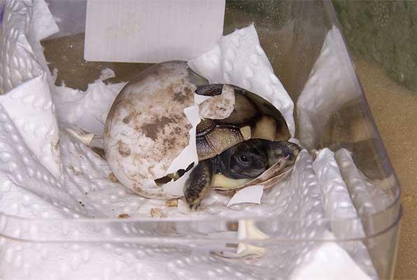 L'éclosion d'une tortue d'Hermann