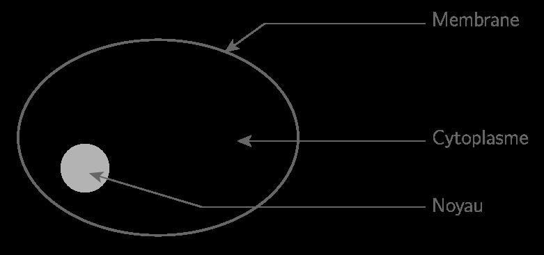Schéma d'une cellule à noyau