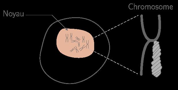 Les chromosomes dans une cellule à noyau