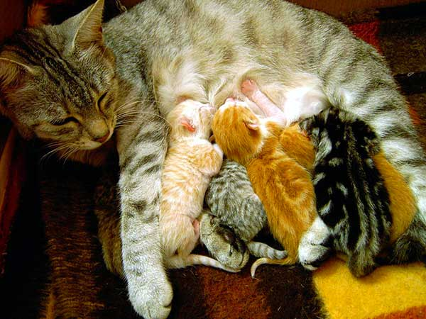 Une chatte et ses chatons en train de la téter