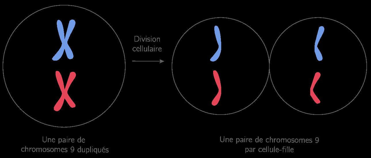 La répartition de l'information génétique entre cellules-filles
