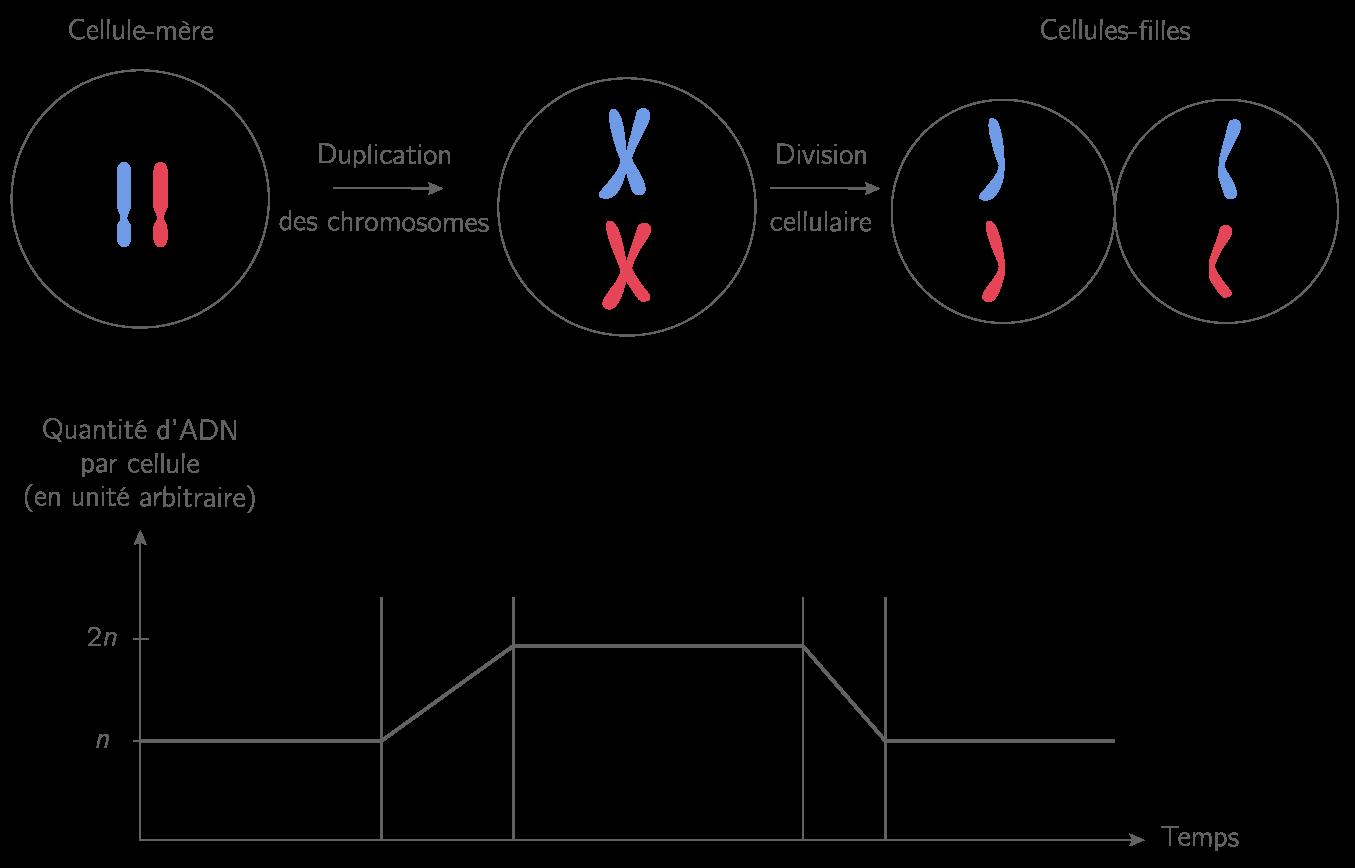 La division cellulaire et la quantité d'ADN dans la cellule