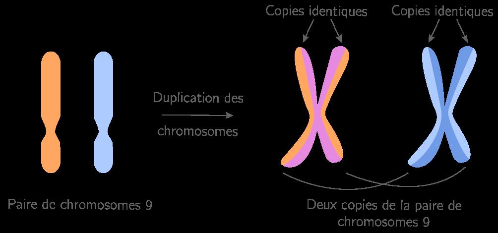 La copie à l'identique de l'information génétique