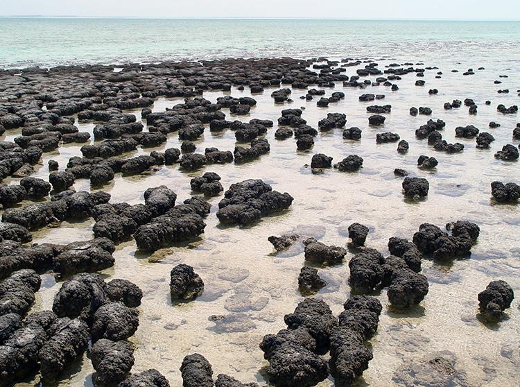 Photographie de stromatolithes actuels observés en Australie