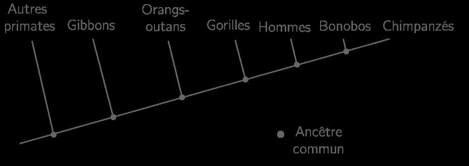 Arbre de parenté des grands singes actuels