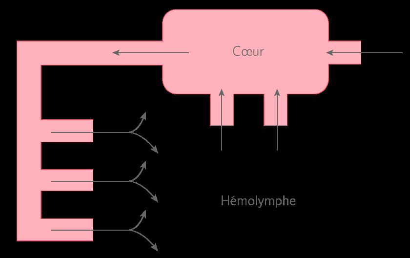 Le système circulatoire ouvert chez les insectes